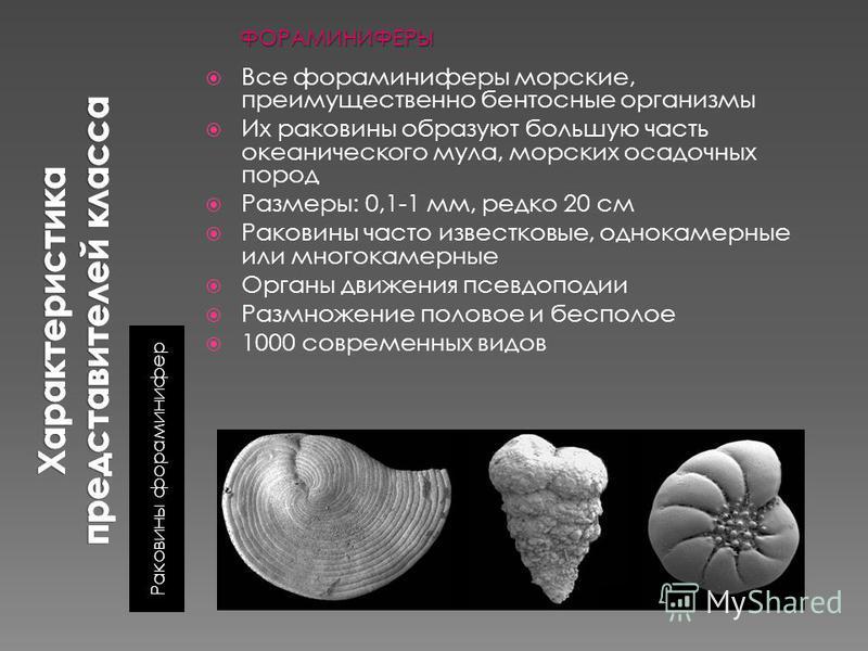 Раковины фораминифер Все фораминиферы морские, преимущественно бентосные организмы Их раковины образуют большую часть океанического мула, морских осадочных пород Размеры: 0,1-1 мм, редко 20 см Раковины часто известковые, однокамерные или многокамерны