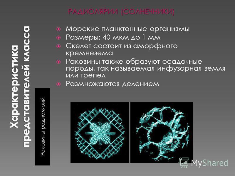 Раковины радиолярий РАДИОЛЯРИИ (СОЛНЕЧНИКИ) Морские планктонные организмы Размеры: 40 мкм до 1 мм Скелет состоит из аморфного кремнезема Раковины также образуют осадочные породы, так называемая инфузорная земля или трепел Размножаются делением