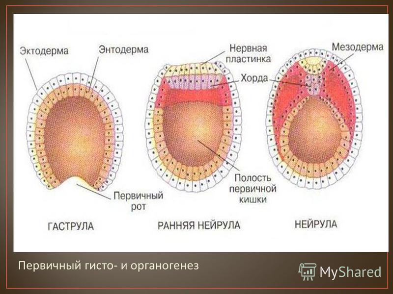 Первичный гисто - и органогенез