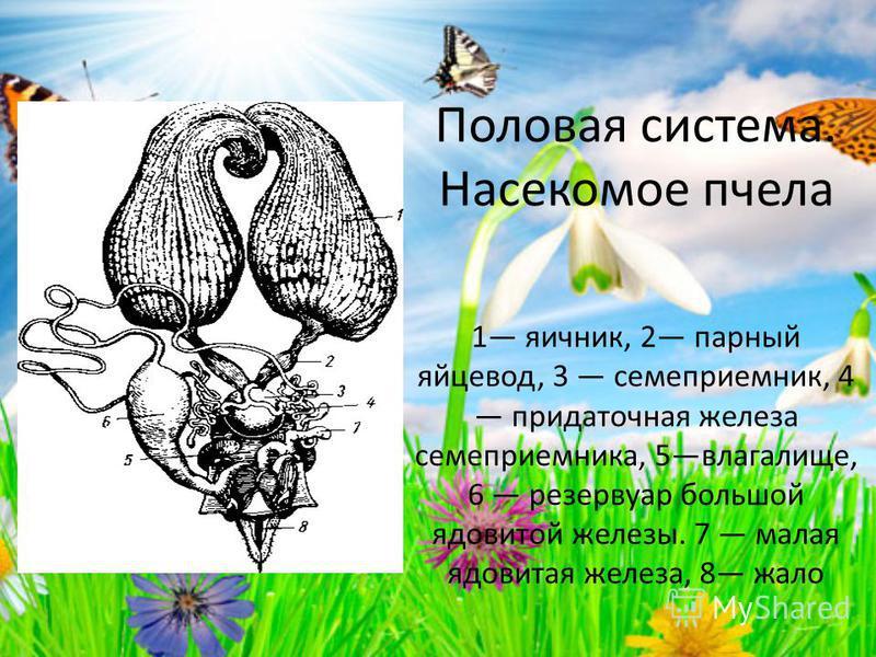Половая система. Насекомое пчела 1 яичник, 2 парный яйцевод, 3 семяприемник, 4 придаточная железа семяприемника, 5 влагалище, 6 резервуар большой ядовитой железы. 7 малая ядовитая железа, 8 жало