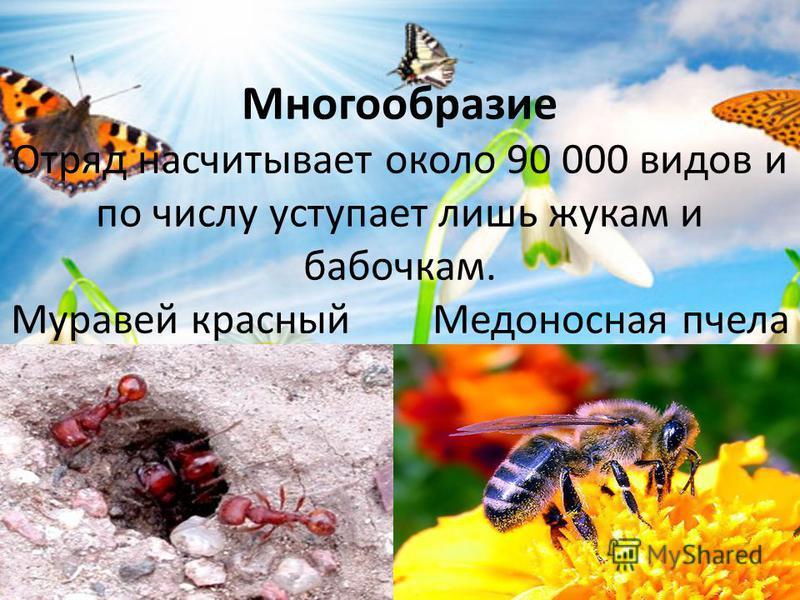 Многообразие Отряд насчитывает около 90 000 видов и по числу уступает лишь жукам и бабочкам. Муравей красный Медоносная пчела