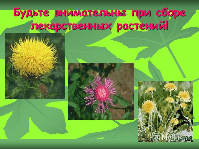 Будьте внимательны при сборе лекарственных растений!