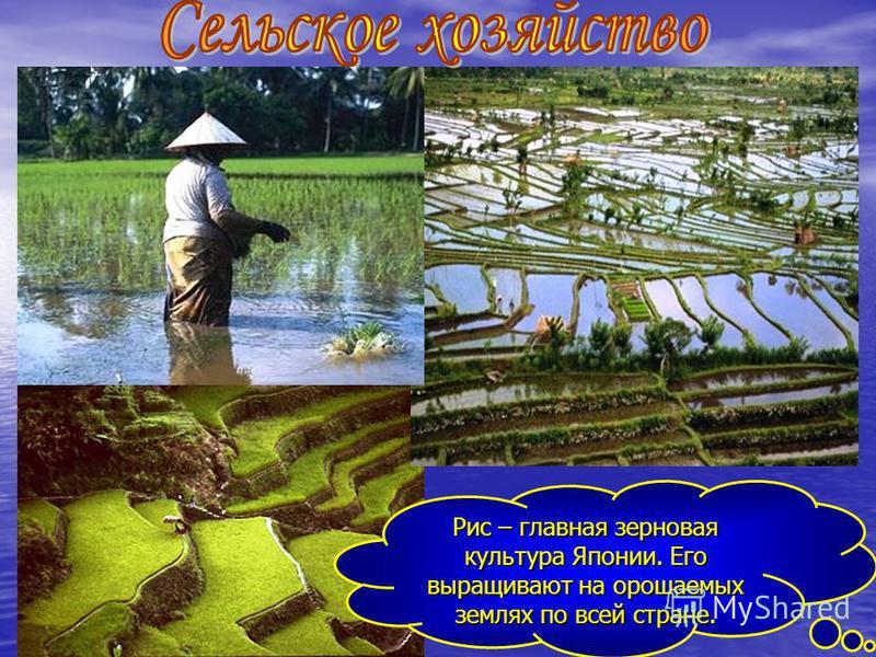 Рис – главная зерновая культура Японии. Его выращивают на орошаемых землях по всей стране.