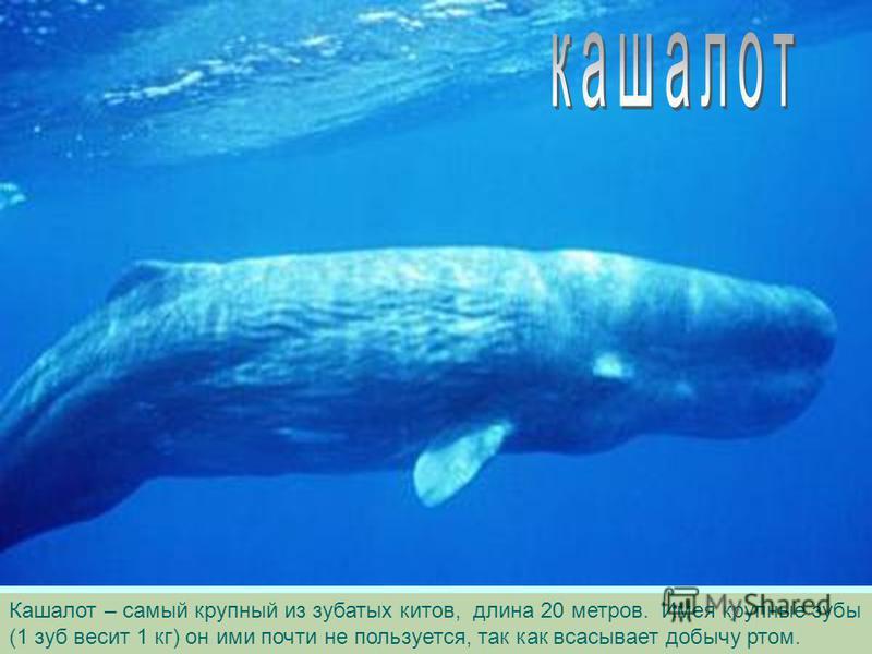 Касатку называют кит-убийца, она часто нападает на самку кашалота с детенышами. Но среди крупных хищников касатка самое доброжелательное животное по отношению к человеку.