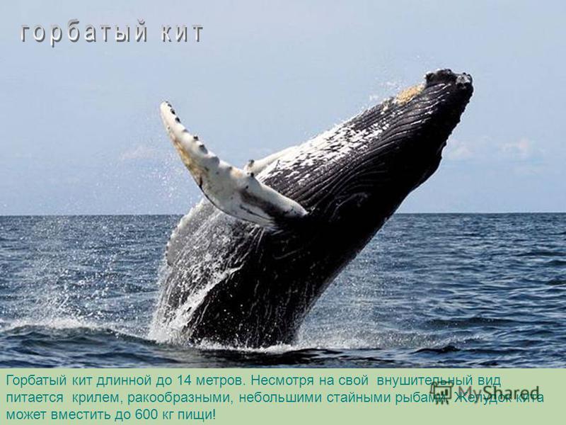 Кашалот – самый крупный из зубатых китов, длина 20 метров. Имея крупные зубы (1 зуб весит 1 кг) он ими почти не пользуется, так как всасывает добычу ртом.