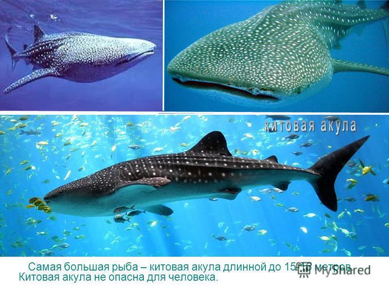 У этой акулы передняя часть похожа на молот ее так и прозвали рыба-молот. Она считается одним из самых страшных океанских хищников, опасных и для человека. Водится молот-рыба в тропических морях, ее длина до 4 х метров.