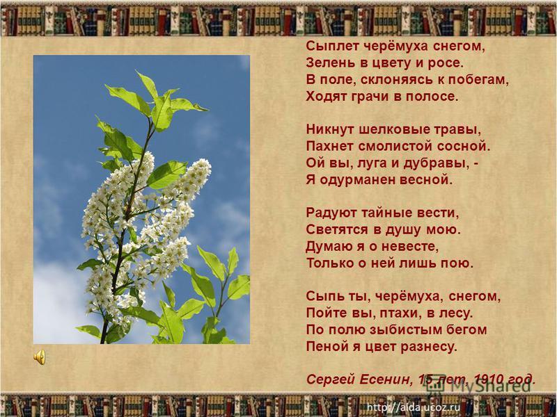 Сыплет черёмуха снегом, Зелень в цвету и росе. В поле, склоняясь к побегам, Ходят грачи в полосе. Никнут шелковые травы, Пахнет смолистой сосной. Ой вы, луга и дубравы, - Я одурманен весной. Радуют тайные вести, Светятся в душу мою. Думаю я о невесте