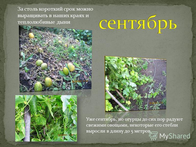 Уже сентябрь, но огурцы до сих пор радуют свежими овощами, некоторые его стебли выросли в длину до 5 метров. За столь короткий срок можно выращивать в наших краях и теплолюбивые дыни