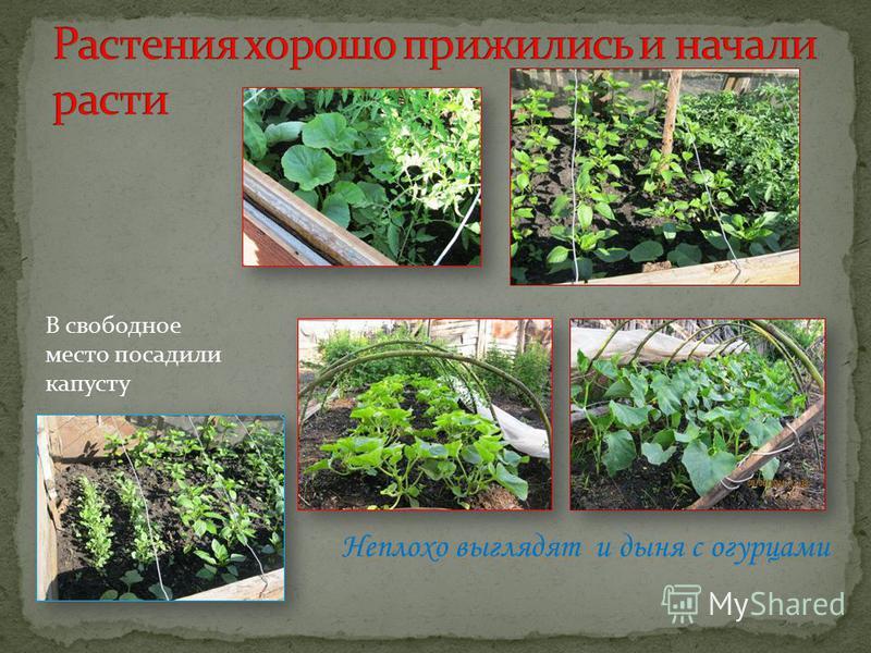 В свободное место посадили капусту Неплохо выглядят и дыня с огурцами