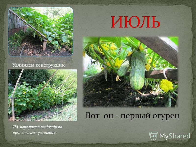 Вот он - первый огурец Удлиняем конструкцию По мере роста необходимо привязывать растения