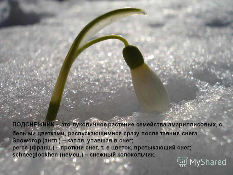 ПОДСНЕЖНИК – это луковичное растение семейства амариллисовых, с белыми цветками, распускающимися сразу после таяния снега. Snowdrop (англ.) – капля, упавшая в снег; perce (франц.) – проткни снег, т. е цветок, протыкающий снег; schneeglockhen (немец.)