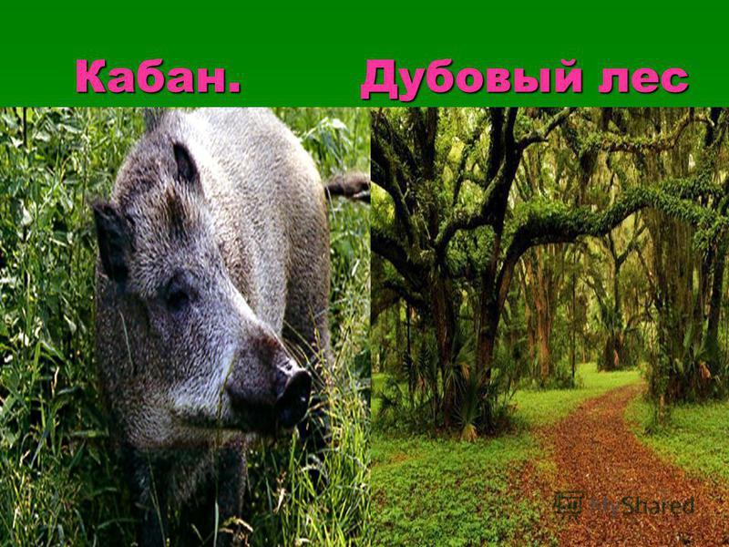 Кабан. Дубовый лес Кабан. Дубовый лес