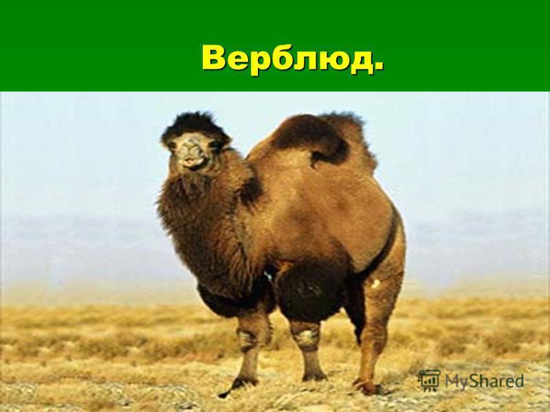 Верблюд. Верблюд.