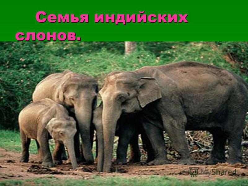 Семья индийских слонов. Семья индийских слонов.