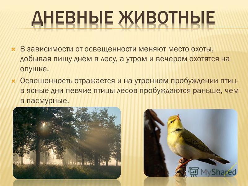 В зависимости от освещенности меняют место охоты, добывая пищу днём в лесу, а утром и вечером охотятся на опушке. Освещенность отражается и на утреннем пробуждении птиц- в ясные дни певчие птицы лесов пробуждаются раньше, чем в пасмурные.