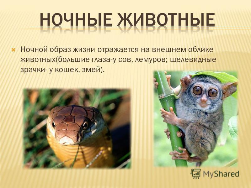 Ночной образ жизни отражается на внешнем облике животных(большие глаза-у сов, лемуров; щелевидные зрачки- у кошек, змей).