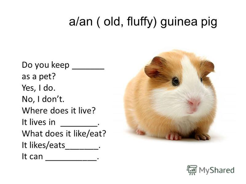 a/an ( old, fluffy) guinea pig Do you keep _______ as a pet? Yes, I do. No, I dont. Where does it live? It lives in ________. What does it like/eat? It likes/eats_______. It can ___________.