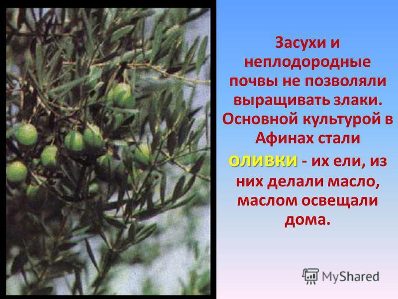 Засухи и неплодородные почвы не позволяли выращивать злаки. оливки Основной культурой в Афинах стали оливки - их ели, из них делали масло, маслом освещали дома.