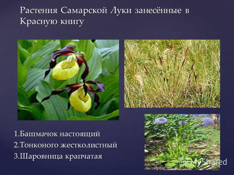 { Растения Самарской Луки В Самарской Луке произрастают растения, которые больше нигде не встречаются. Боярышник Волжский Короставник татарский