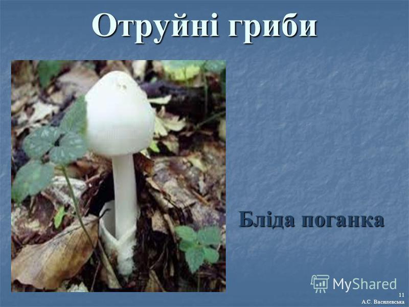 Отруйні гриби Бліда поганка 11 А.С. Василевська