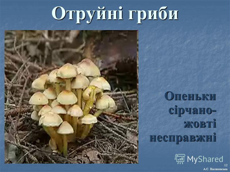 Отруйні гриби Опеньки сірчано- жовті несправжні 12 А.С. Василевська