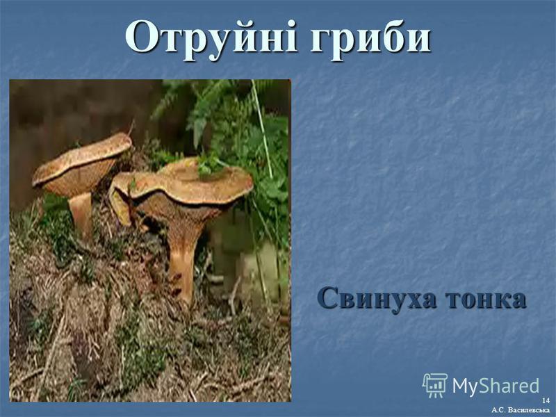 Отруйні гриби Свинуха тонка 14 А.С. Василевська
