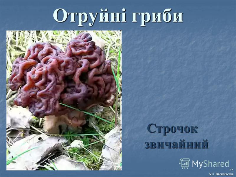 Отруйні гриби Строчок звичайний 15 А.С. Василевська