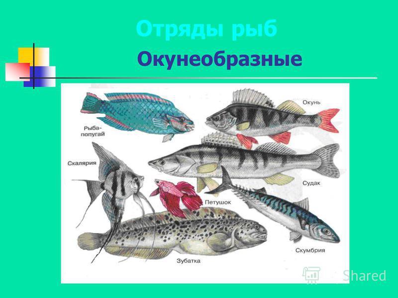 Окунеобразные Отряды рыб
