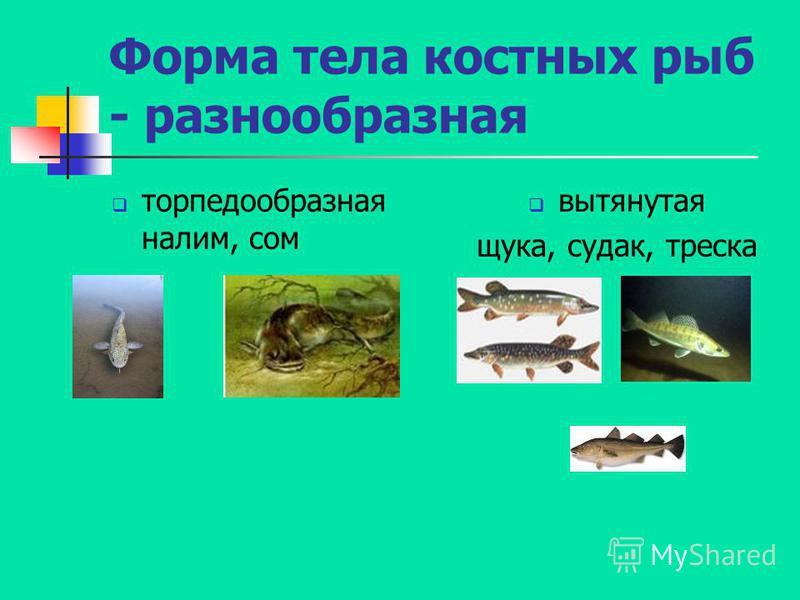 торпедообразная налим, сом вытянутая щука, судак, треска Форма тела костных рыб - разнообразная