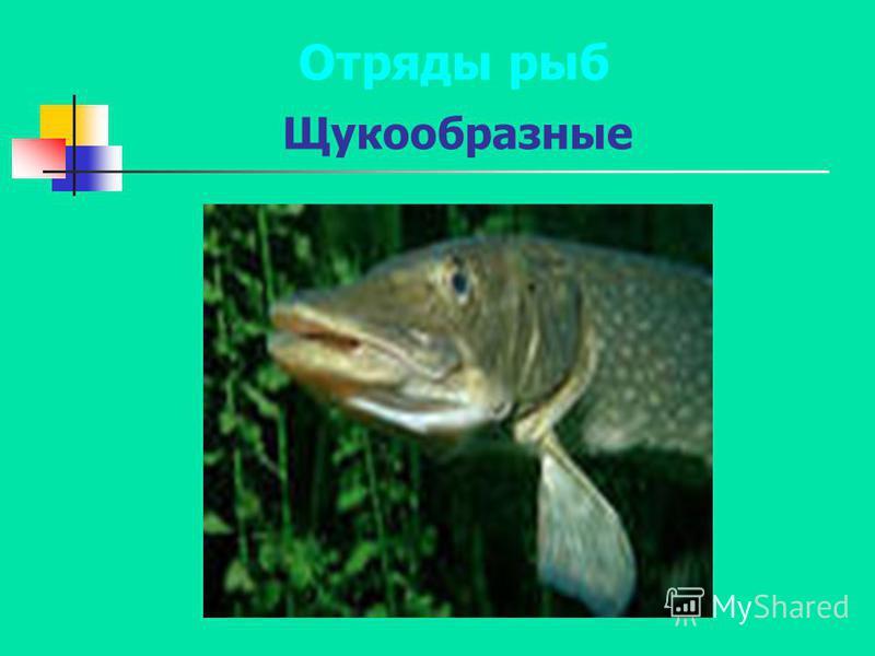 Отряды рыб Щукообразные