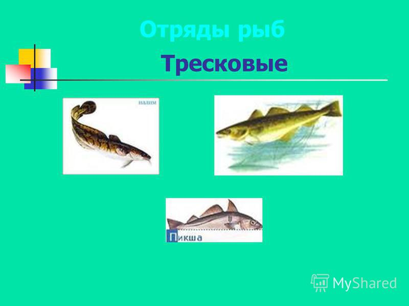 Тресковые Отряды рыб