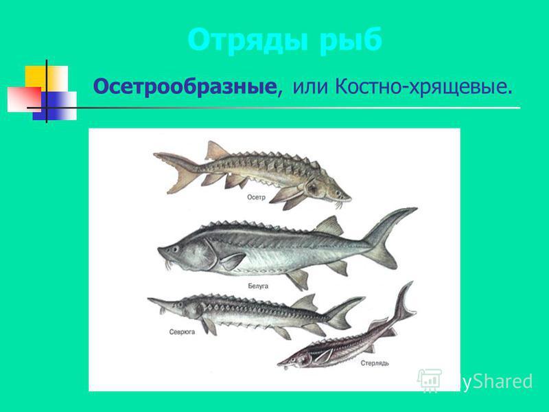Осетрообразные, или Костно-хрящевые. Отряды рыб