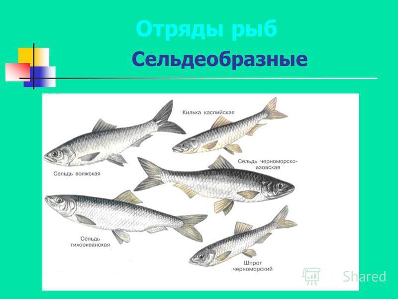 Сельдеобразные Отряды рыб