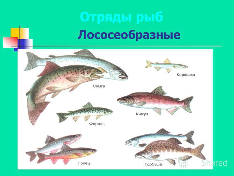 Лососеобразные Отряды рыб