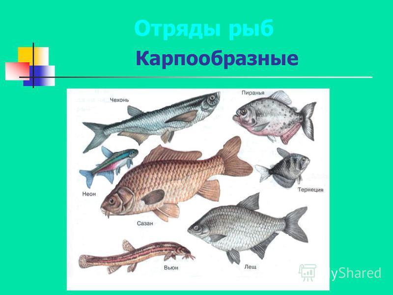 Карпообразные Отряды рыб