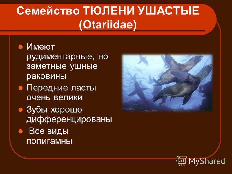 Семейство ТЮЛЕНИ УШАСТЫЕ (Otariidae) Имеют рудиментарные, но заметные ушные раковины Передние ласты очень велики Зубы хорошо дифференцированы Все виды полигамны
