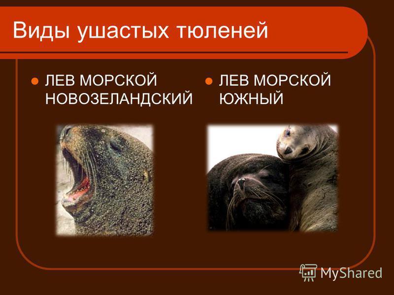 Виды ушастых тюленей ЛЕВ МОРСКОЙ НОВОЗЕЛАНДСКИЙ ЛЕВ МОРСКОЙ ЮЖНЫЙ