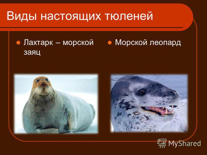 Виды настоящих тюленей Лахтарк – морской заяц Морской леопард
