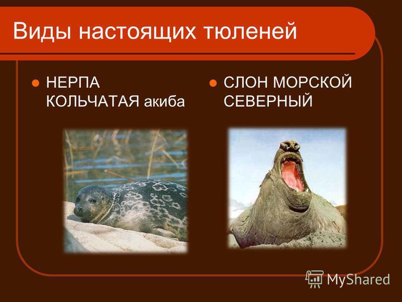 Виды настоящих тюленей НЕРПА КОЛЬЧАТАЯ акиба СЛОН МОРСКОЙ СЕВЕРНЫЙ