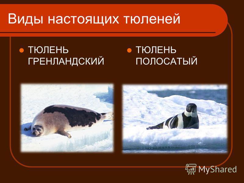 Виды настоящих тюленей ТЮЛЕНЬ ГРЕНЛАНДСКИЙ ТЮЛЕНЬ ПОЛОСАТЫЙ
