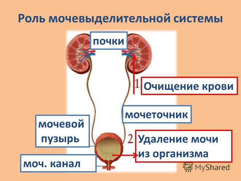 Роль мочаевыделительной системы почки моча. канал мочаеточник мочаевой пузырь Удаление мочаи из организма Очищение крови