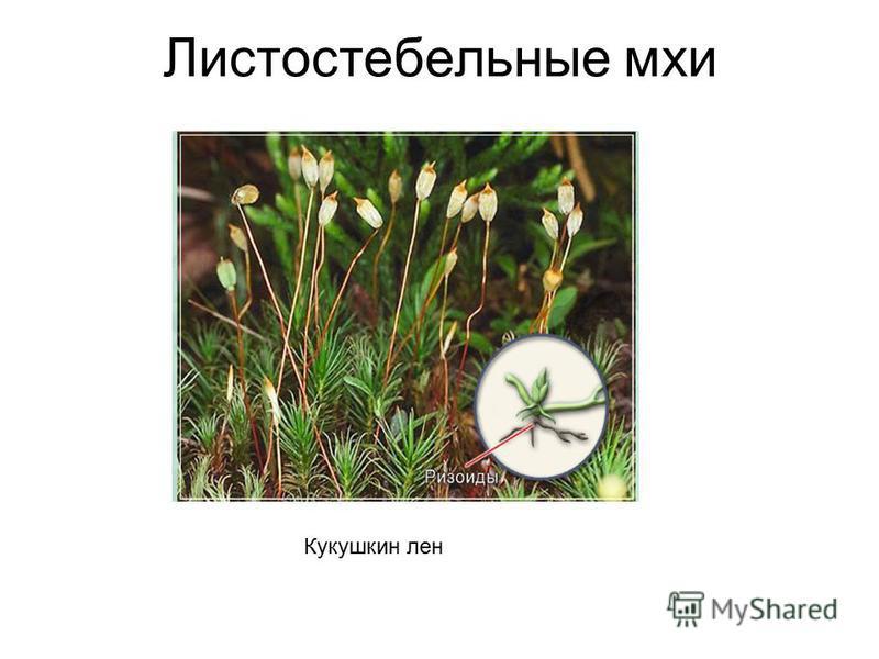 Листостебельные мхи Кукушкин лен