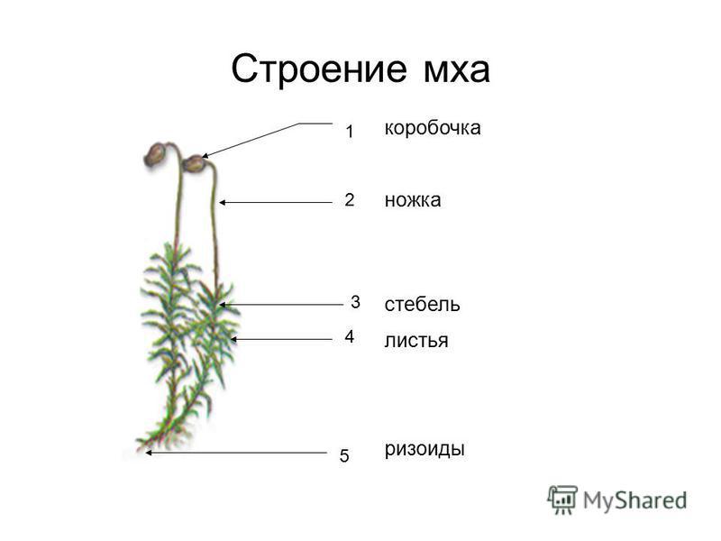 Строение мха коробочка ножка стебель листья ризоиды 1 2 3 4 5
