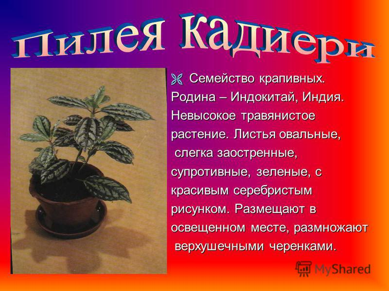 Семейство губоцветных. Родина – остров Ява. Неприхотливое растение, формой супротивных листьев напоминает глухую крапиву. Листья бархатные, крупные, окрашены в разные цвета. Цветы невзрачные, мелкие, лилово-синие, собраны в верхушечные кисти, их удал