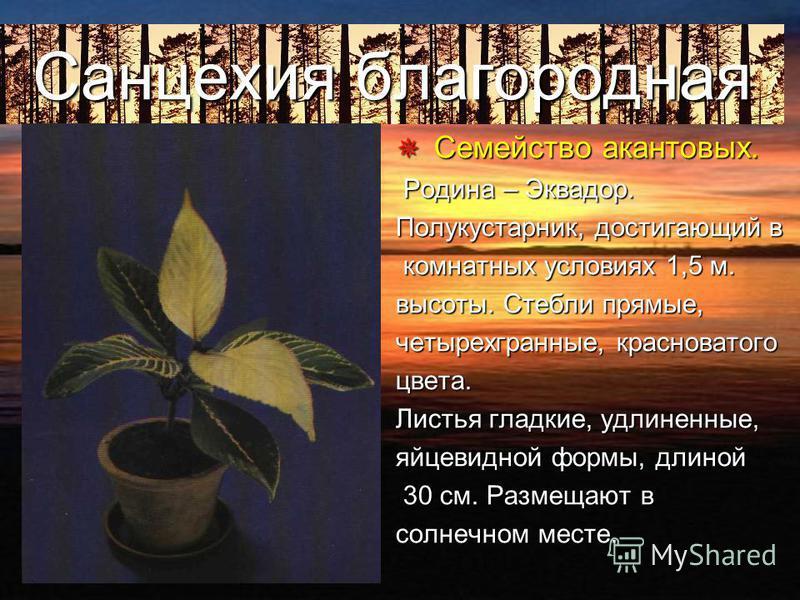 Диффенбахия пятнистая С Семейство Ароидных. Родина - тропические леса Южной Америки. Высокое растение с крупными листьями, покрытыми белыми, палевыми желтыми пятнами и штрихами. Стебли толстые, сочные, одревесневающие.