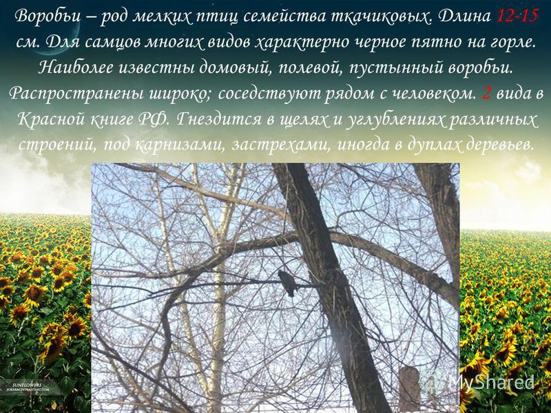 Воробьи – род мелких птиц семейства ткачиковых. Длина 12-15 см. Для самцов многих видов характерно черное пятно на горле. Наиболее известны домовый, полевой, пустынный воробьи. Распространены широко; соседствуют рядом с человеком. 2 вида в Красной кн