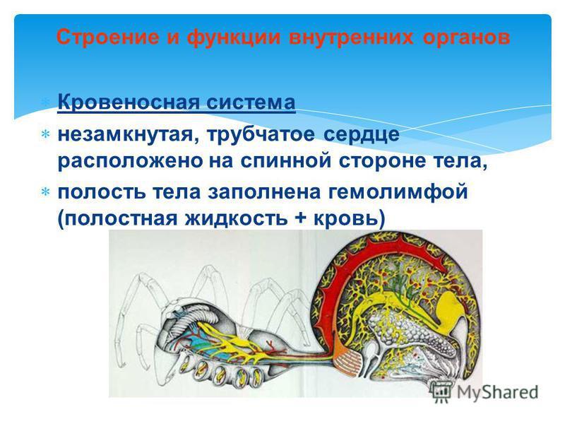 Кровеносная система незамкнутая, трубчатое сердце расположено на спинной стороне тела, полость тела заполнена гемолимфой (полостная жидкость + кровь) Строение и функции внутренних органов