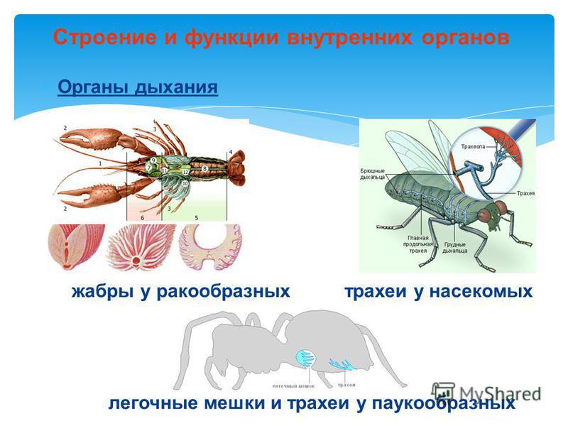 Органы дыхания жабры у ракообразных трахеи у насекомых легочные мешки и трахеи у паукообразных Строение и функции внутренних органов