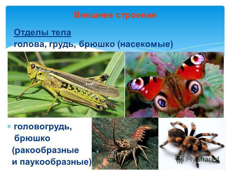Отделы тела голова, грудь, брюшко (насекомые) головогрудь, брюшко (ракообразные и паукообразные) Внешнее строение