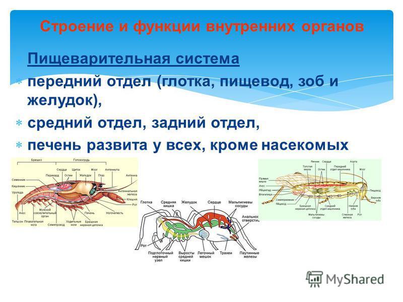 Пищеварительная система передний отдел (глотка, пищевод, зоб и желудок), средний отдел, задний отдел, печень развита у всех, кроме насекомых Строение и функции внутренних органов